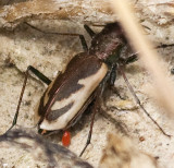 Variable Tiger Beetle