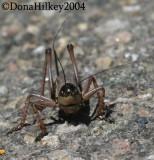 Mormon Cricket ,  Anabrus simplex