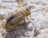 Erynephala puncticollis