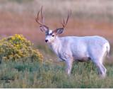 Majik White Mule Deer Buck - rabbit brush