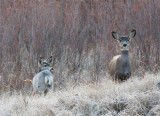 white fawn and mom.jpg