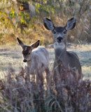 white fawn and mom eating.jpg