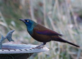 Common Grackle drinking out of bird bath