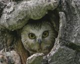Saw-whet female in nest cavity