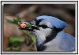 jays_and_crows