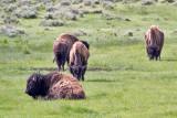0316 Bison