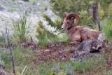 1732 Big Horn Sheep