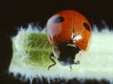 Ladybird Beetle (0001).jpg
