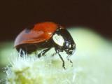 Ladybird Beetle (0003).jpg