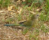Red-Rumped Parrot - Female