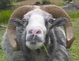 Curious Ram