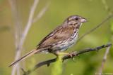 Song Sparrow profile