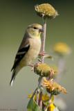 Sunflower perch