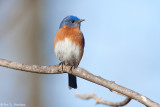 Isolated Bluebird
