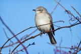 Cold Mockingbird