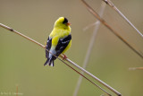 Spring Goldfinch
