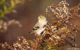Fall Goldfinch