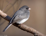 Junco at rest