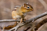 Alert chipmunk