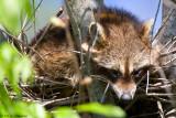 Resting raccoon