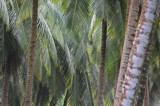 15 Coconut palms 1560