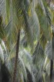15 Coconut palms 1562