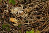 15 Crab was bird dinner on high bluff 2072