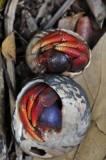 15 Hermit crabs 2161