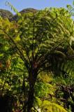 15 Tree fern 2287