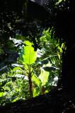 15 Banana planting 2339