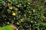 15 Grapefruit 2360