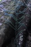 15 A climbing fig 2558