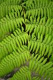 16 Tree fern 1208w