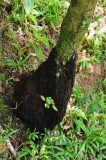 16 Tree fern base - trail to Middleham Falls 3056