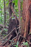 16 Aerial termite nest - trail to Middleham Falls 3079