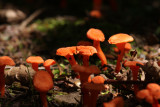 Small Chanterelle (Cantharellus minor)