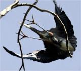 Great Blue Heron: Look Out Below!