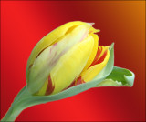 Wild About Tulips
