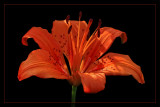 Lily On Black