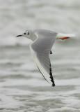 Bonaparte's Gull Winter Adult