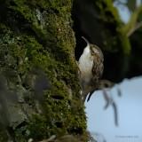 short-toed treecreeper.... boomkruiper