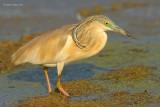squacco heron.... ralreiger
