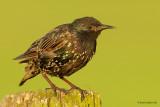 common starling.... spreeuw