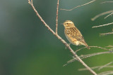 whinchat.... paap