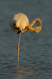 greater flamingo.... flamingo