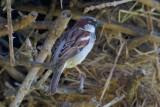 house sparrow.... huismus