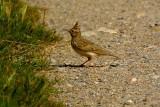 crested lark.... kuifleeuwerik