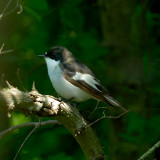 pied flycatcher.... bonte vliegenvanger