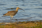 curlew.... wulp