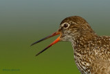 common redshank.... tureluur